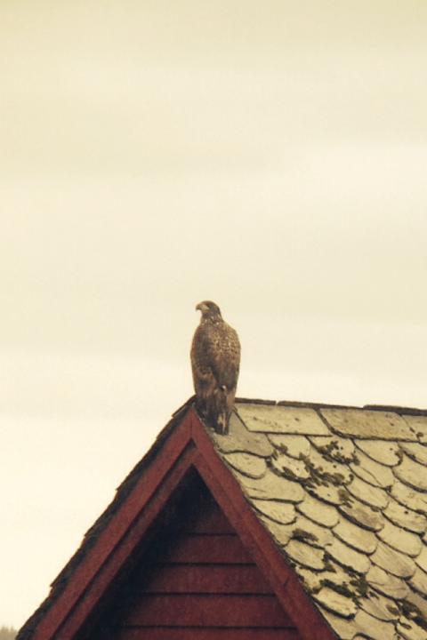Ørn på taket til løa hos Alf Einar Notland