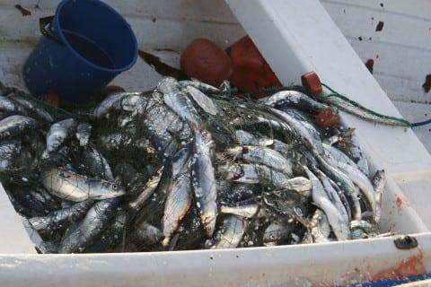 Sildefiske